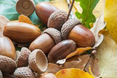 Composition of acorns from oak stock photo