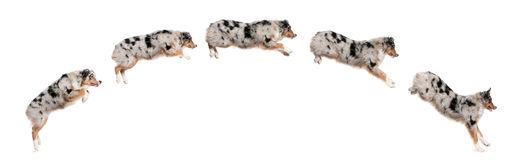 Composition of Australian Shepherd dogs jumping Stock Photo