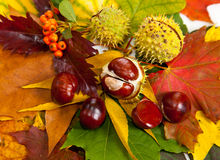 Composition of autumn chestnuts and leaves Stock Images