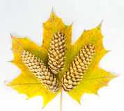 Composition of autumn leaf and fir-cone Stock Images