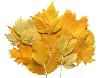 Composition of autumn leaves. Royalty Free Stock Photo