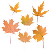 Composition of autumn leaves Stock Photos