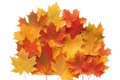Composition of autumn maple leaves. Stock Images