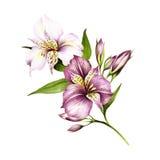 Composition avec l'alstroemeria Illustration d'aquarelle d'aspiration de main Photographie stock libre de droits