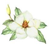 Composition avec la magnolia Illustration d'aquarelle d'aspiration de main Images stock