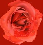 Red rose, Royalty Free Stock Image