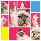 Composition of a Birman kitten Royalty Free Stock Image