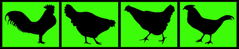 Composition of black chickens Royalty Free Stock Image