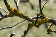 The composition of the branches tree with yellow lichen. Royalty Free Stock Photography