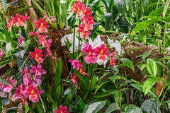 Composition of Burrageara Nelly Isler in the greenhouse. Royalty Free Stock Image
