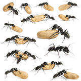 Composition of a Carpenter ant, Camponotus vagus Stock Image