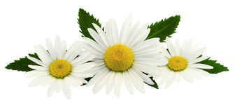 The composition of chamomile flowers on a white background. Royalty Free Stock Images