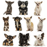 Composition of Chihuahuas. Isolated on white royalty free stock photography