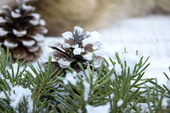 Composition with Christmas tree and pinecone on white rustic woo Stock Photo