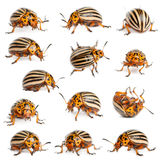 Composition of Colorado potato beetles Stock Photos