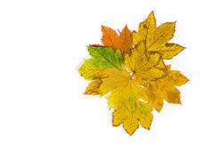 Composition of colorful maple leaves Royalty Free Stock Photos