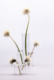 Composition with dandelion seeds and small glass bottles Stock Photos