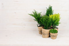 Composition de différentes jeunes usines vertes de conifère dans des pots avec l'espace de copie sur la table en bois beige Images libres de droits