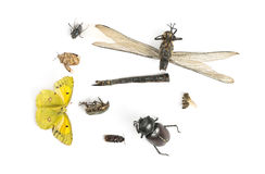 Composition with dead insects, isolated Royalty Free Stock Photo