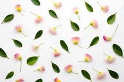 Composition disposée florale avec les fleurs persanes d'arbre en soie et les feuilles vertes luxuriantes sur le fond blanc Catégo photo libre de droits