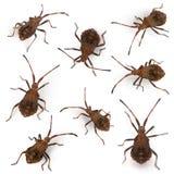 Composition of Dock bugs, Coreus marginatus Royalty Free Stock Photo