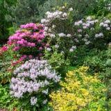 Composition du rhododendron de différentes variétés et couleurs Photo stock