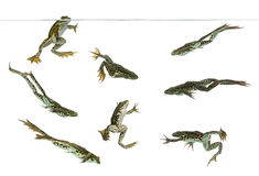 Composition of Edible Frogs swimming under water line. Pelophylax kl. esculentus, isolated on white royalty free stock photography