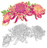 Composition en fleur de trois chrysanthèmes illustration de vecteur