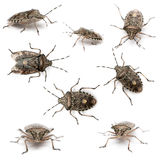 Composition of European stink bugs, Rhaphigaster Stock Photos