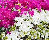 Composition of flowers Royalty Free Stock Image