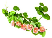 Composition of fresh green leaves of the ground cover and bright. Pink flowers of geranium isolated on white royalty free stock photos