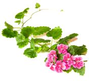 Composition of fresh green leaves of the ground cover and bright. Pink flowers of geranium isolated on white stock photos