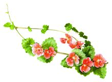 Composition of fresh green leaves of the ground cover and bright. Pink flowers of geranium isolated on white stock photo