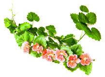 Composition of fresh green leaves of the ground cover and bright. Pink flowers of geranium isolated on white royalty free stock photo