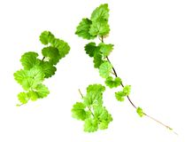 Composition of fresh green leaves of the ground cover royalty free stock images
