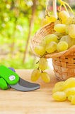 Composition of fresh white grape in wicker basket and secateurs Royalty Free Stock Image