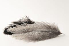 Composition horizontale en deux plumes Photo libre de droits