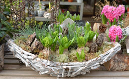 Composition of hyacinths in a wooden basket. Composition of hyacinths in a wooden basket with moss royalty free stock images