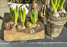 Composition of hyacinths in a wooden log Royalty Free Stock Photography