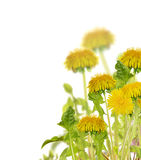 Composition with isolated yellow bright dandelions Royalty Free Stock Photos