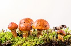 Composition with larch bolete on white background Stock Photography