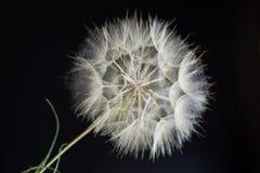 Composition large dandelion on a black background Stock Images