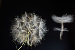 Composition large dandelion on a black background Royalty Free Stock Photos