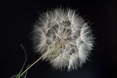 Composition large dandelion on a black background Royalty Free Stock Photography