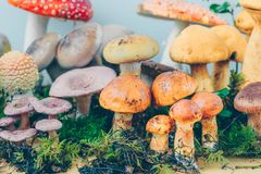 Composition with a large variety of mushroom species Royalty Free Stock Image