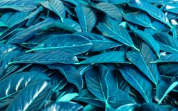 Composition of leaves of blue color. Unusual colors of nature. royalty free stock photo
