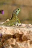 Composition with a lizard Royalty Free Stock Images