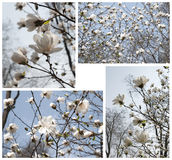 Composition with magnolia Royalty Free Stock Photo