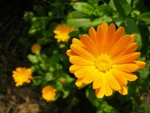 Composition of marigolds. Sunny orange marigold flower with marigolds in background Royalty Free Stock Photo