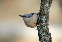 Composition nuthatch in its wooden watchtower Stock Photography